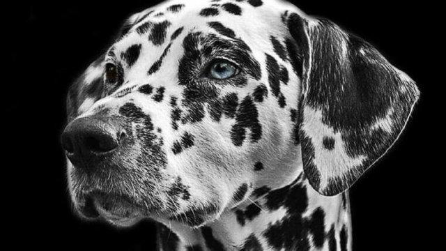 黒い斑点模様のダルメシアン